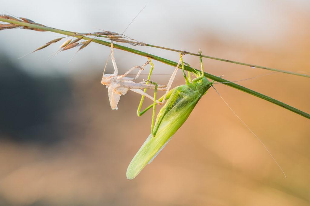 Kobylka zelená (2.7.2017)