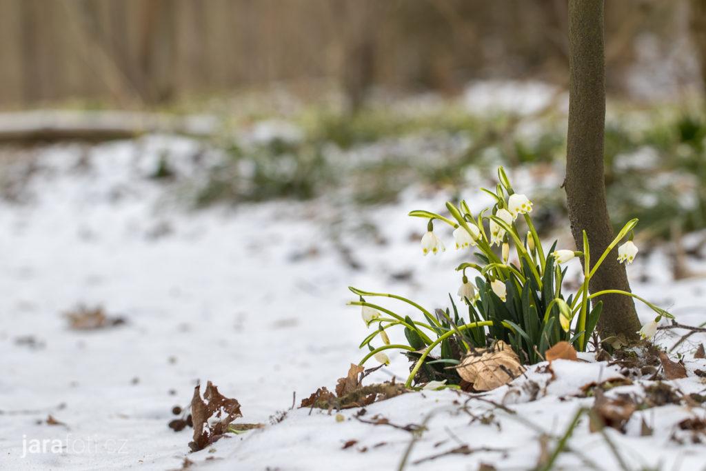 Bledule jarní (18.3.2018, PR Údolí Chlébského potoka)