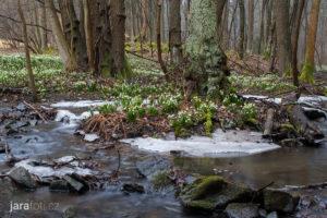 Bledule jarní (29.3.2018, PR Údolí Chlébského potoka)